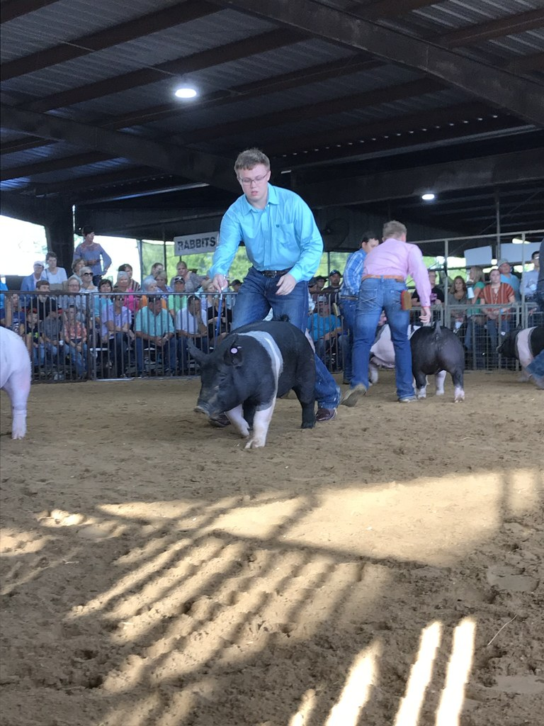 Snook boy showing pigs at the fair