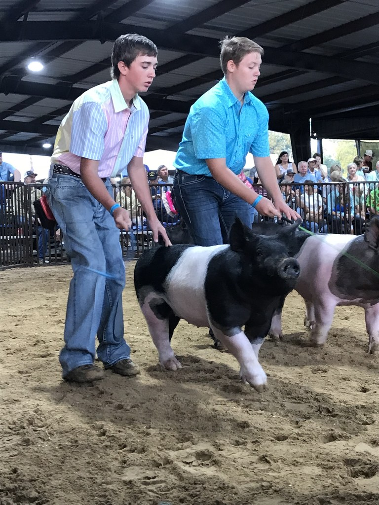 two Snook boys showing pigs the fair
